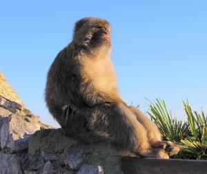 IP Chimp contemplating